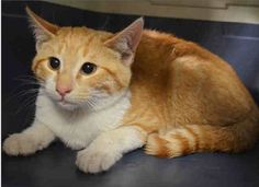 FRESH - A1071607 - - Manhattan  Please Share:   ***TO BE DESTROYED 05/06/16*** PAIR OF FRIGHTENED KITTENS LESTER AND FRESH NEED A RESCUE ANGEL TONIGHT OR THEY DIE FOR HAVING COLDS!! Someone tricked a group of 4 stray kittens into a carrier with some food and dumped them at the ACC. LESTER and FRESH came in with 2 other littermates named Leslie A1071604 and Puma A1071606 who are not listed tonight. These two kittens are 5 months old and both have a cold. Sadly, because they