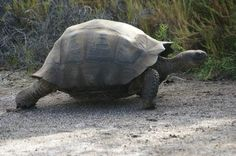 #Tortiose we saw during our Galapagos cruise on Celebrity Xpedition