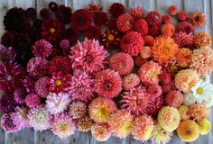 Dahlia Wizard of Oz – Floret Flower Farm Cut Flower Garden, Flower Farm, Cut Garden, Types Of Flowers, Cut Flowers, Dried Flowers, Growing Tulips, Growing Sweet Peas, Color Style