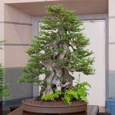 Conifers at REBS annual show - Bonsai Tonight Bonsai Soil, Bonsai Plants, Bonsai Trees, Indoor Bonsai Tree, Mini Bonsai, Garden Terrarium, Bonsai Garden, Redwood Bonsai, Mini Plantas