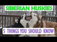 If you want a Husky... watch this first! - YouTube