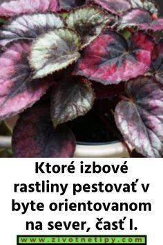 Begónia kráľovská: Rady pri pestovaní, ktoré by ste mali poznať - Přírodní léky Begonia, It Cast, Vegetables, Vegetable Recipes, Veggies