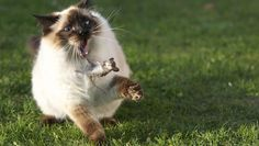 Outdoor cats are prolific killers, study finds