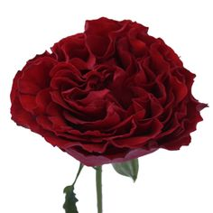 Garden Rose Red Velvet is a deeply romantic rose; similar to an upside down flamenco dancers skirt, this velvety red flower has ruffles on ruffles on ruffles. Incredibly dense with oh so many petals, this rose is perfect for Valentines day, a surprise or a romantic love affair of a wedding.