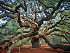 Angel Oak Tree, Charleston, South Carolina ...said to be 1500 yrs old and the oldest living thing east of the Mississippi (photo by Colby Brown)