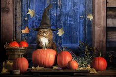 Photo about A cat wearing pointed witches hat and sitting amongst pumpkins on doorstep of rustic cabin with blue door. Image of pumpkins, doorstep, sitting - 101483600 Chat Halloween, Halloween Costumes, Pumpkin Images, I Love Cats, Cat Day, Photo S, Cats Of Instagram, Funny Cats, Rustic