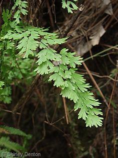 Adiantum capillus-veneris - Maidenhair Fern