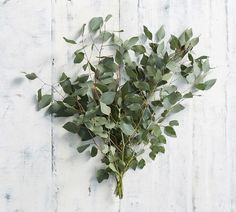 On their own or worked into a floral bouquet, the Live Silver Dollar Eucalyptus Branches are a natural-born beauties. With their fresh scent and soothing appearance, these small, multi-branched plants creates a wonderful assortment of color, aroma…