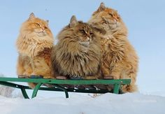 3 floofs! - fluffy majestic Siberian farm cats in winter snow
