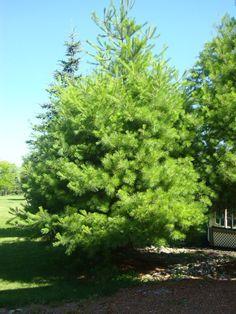 eastern-white-pine.jpg (720×960)
