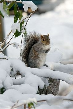 Ecureuil dans la neige.