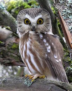 Northern Saw-whet Owl. One of these perched on our tree in our backyard for the whole afternoon. It may be the cutest owl ever! Owl Bird, Pet Birds, Rapace Diurne, Nocturne, Saw Whet Owl, Nocturnal Birds, I Like Birds, Gyr, Funny Owls
