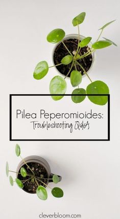 Your Pilea Peperomioides questions answered on Clever Bloom. White spots, brown spots, curling leaves...everything you want to know! #pilea #pileapeperomioides #pilea care #housplants #indoorplants #plantcare