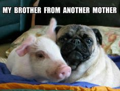 The only difference between a pig and a pug is U and I! [Image description: A photo of a piglet and a pug cuddling with the above text] Funny Dogs, Cute Dogs, Funny Animals, Cute Animals, Fu Dog, Dog Cat, Humor Animal, Brother From Another Mother, Pugs And Kisses