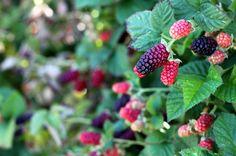 U-pick farm blackberry bush 1 Blackberry Bush, Pink Zebra Home, Pink Zebra Sprinkles, Berry Picking, Summer Fruit, Summer Activities, Blueberry, Grass, Raspberry