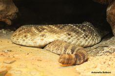 Serpente a sonagli - Zoo di Pistoia, 11- aprile 2015 - Canon EOS 1200D.