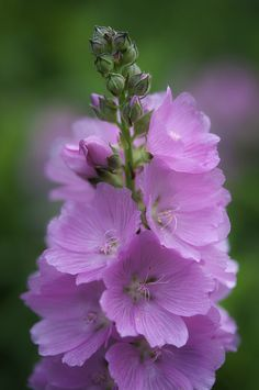 Sidalcea 'Sussex beauty'