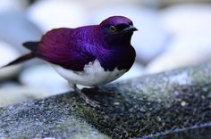 A beautiful violet-backed starling. #birds #animals #purple