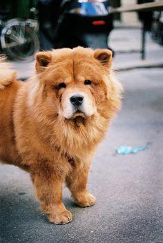 chow chow #chowchow #dog #fluffy #cute