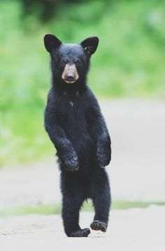 Tipsy bear