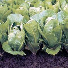 The Yummiest romaine lettuce di indonesia and Fresh Tastes!