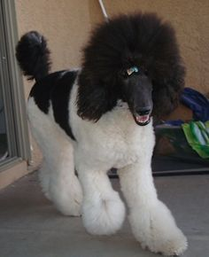 Front side view - A white with black, parti-colored Standard Poodle dog walking down a concrete porch. It has a ribbon in its hair, its mouth is open and it looks like it is smiling. The dog has a thick coat with shaved hair on its snout. I Love Dogs, Cute Dogs, Dog Breeds Pictures, Dog Photos, Poodle Cuts, Tea Cup Poodle, Puppy Cut, Bulldog Breeds, Poodle Grooming
