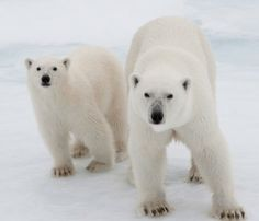 In the last 30 years, we've lost as much as three-quarters of the floating ice cap at the top of the world. The volume of that sea ice measured by satellites in the summer, when it reaches its smallest, has shrunk so fast that scientists say it's now in a 'death spiral'.