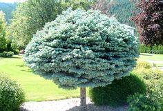 Dwarf Globe Blue Spruce Treeform (1.5 m head) A slow-growing very dense dwarf globular blue spruce with steel-blue needles. This form is grafted on a stem. Grows best in full sun. Canadale Nurseries Ltd.
