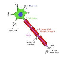 Generating an Action Potential - Axons and Action Potential