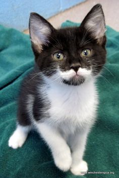 Kitten with a moustache