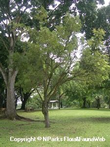 Swietenia mahogani-lots of water Sun Plants, Flora And Fauna, Water, Plants Sunny, Gripe Water