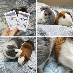 Adopting A Guinea Pig Was The Best Decision Ever | Bored Panda