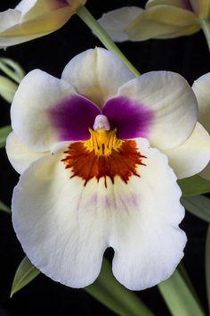 ✯ Miltonia Orchid