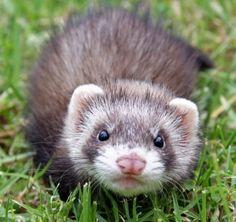 Furry ferret face :)