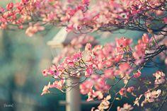 <3 Cherry blossoms <3