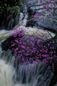 "tulipnight: "" Bloom Togokumitsuba azalea by Michiyoshi Akiyama """