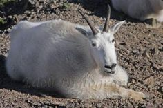 Smiling mountain goat by MarkEdell for $28.00