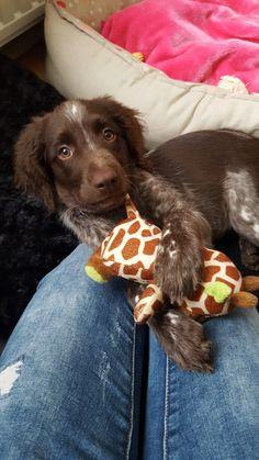 Heidewachtel pup Bailey