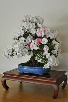 Rhododendron indicum 'Kaho' Satsuki Azalea In Training Since 1975 Flowering Bonsai Tree, Bonsai Tree Types, Bonsai Trees, Bonsai Azalea, Washington Usa, Bonsai Garden, Ikebana, Orchids, Plants
