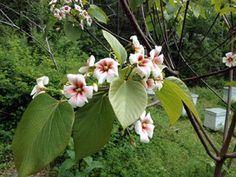 April Staff Pick – Tung Oil Tree | Smith Gilbert Gardens