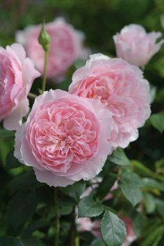 'Wisley 2008'  | David Austin English Rose