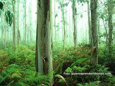 Bellísimo paisaje en el Camino de Santiago: Bosque de Eucaliptus - www.quieroaprenderidiomas.com