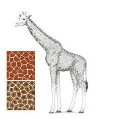 giraffe draw giraf easy drawing drawings een realistic cartoon hoe giraffa disegnare tekenen teken pattern face tutorials koe ik accentsconagua