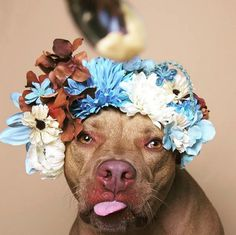 simoneolivero:      Every year, nearly 1,000 pit bulls are euthanized in the U.S.   Hoping to draw attention to the crisis, author and photographer Sophie Gamand launched the #PitBullFlowerPower campa