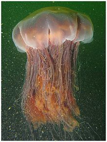 Lion's Mane Jellyfish is the largest known species of jellyfish and lives in the waters of the Arctic, the northern Atlantic and the northern Pacific Oceans. The largest recorded specimen was found in 1870 with a body of 2.29m  and tentacles 37m long. Via en.wikipedia.org #Lions_Mane_Jellyfish #Marine_Biology #Wikipedia