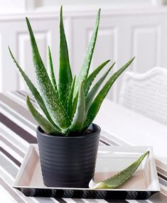 How to Care for Your Aloe Vera Plant. Aloe vera plants are native to tropical regions, but they're common household plants in a variety of climates. Caring for an aloe vera plant is simple once you know the basics. Aloe Vera En Pot, Aloe Vera For Skin, Cactus Plants, Garden Plants, Cacti, Garden Web, Balcony Garden, Pots For Plants, Tropical House Plants