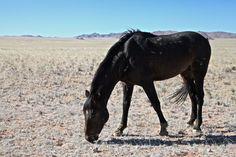 Le Cheval de Namibie - Le Cheval de Namibie au pâturage