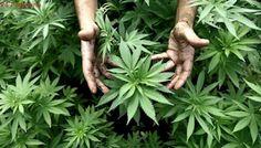 Crean un Comité de Supervisión del Uso Medicinal del Cannabis