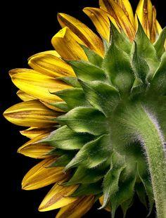 Sunflower Study 1 by Caryn Seifer Sunflower Garden, Sunflower Art, Sunflower Photography, Macro Photography, Happy Flowers, Flowers Nature, Sun Flowers, Sunflowers And Daisies, Yellow Flowers
