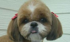 5 Tips for Grooming Shih Tzu - Page 5 of 5 - Shih Tzu Daily